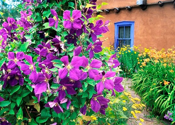 A purple Jackman Clematis provides a colorful contrast with some orange dayliies, adobe walls, yellow yarrow and a blue window at the corner of Delgado Street  and Canyon Road in a summer garden scene in Santa Fe